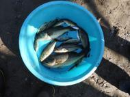 外来魚駆除